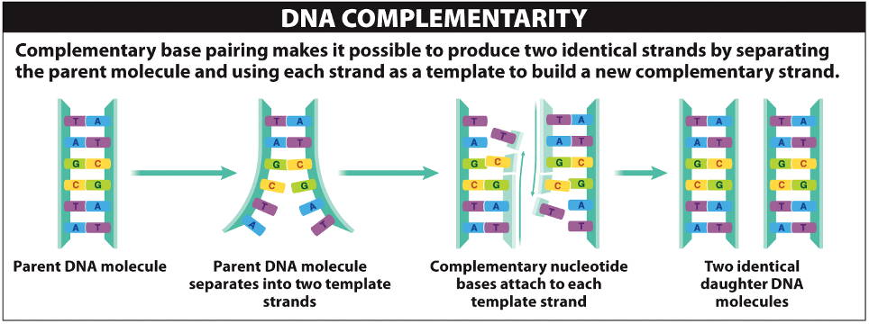 the two strands of a dna double helix are complementary to each other  the  base on one strand always has the same pairing partner on the other,